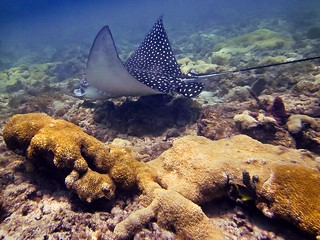 Spotted Eagle Ray: Lauderdale by the Sea, Florida