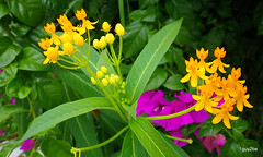 milkweed bougainvillea  7-21-2014 6-54-021 (1guy2be) Tags: light color nature pentax florida apocynaceae today asclepias butterflyweed asclepiastuberosa pleurisyroot butterflymilkweed 1guy2be in2it2much richardpriceelliott homesanctuary
