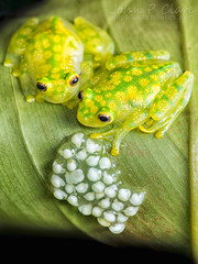 La Palma Glass Frog (Hyalinobatrachium valerioi) (John P Clare) Tags: male female ecuador costarica colombia breeding eggs mating tadpoles panama embryo embryos reticulatedglassfrog centrolenidae hyalinobatrachiumvalerioi ranitadevidrio lapalmaglassfrog valeriosglassfrog