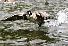 CHAAAARGE!!! (Kez West) Tags: nature water goose splash waterfowl canadagoose angrybird