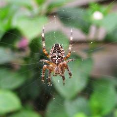 Kruisspin een van de vele (Olga and Peter) Tags: garden spider spin tuin garten gardenspider kruisspin gimg14223