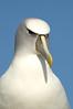 Shy albatross, Albatross Island, Tasmania, Australia (by N. Murray)