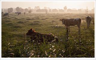 cows in early morning light