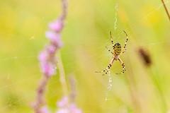 _DSC4269-10082014 (Miguel A. Quintás V.) Tags: nikon sigma spyder nik araña argiope sigma50500 bruennichi argiopebruennichi arañatigre arañacestera arañaavispa quintasfotografiacomquintas