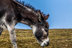 """donkey at Vlieland • <a style=""""font-size:0.8em;"""" href=""""http://www.flickr.com/photos/125767964@N08/14862151426/"""" target=""""_blank"""">View on Flickr</a>"""