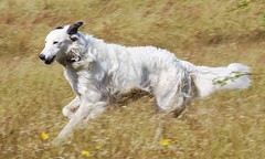 Gyp Enjoying a Run (Chrissie28IWish! ~ hubby passed away 5th Dec peace) Tags: dog pets white field grass speed fur nose grey legs tail ears running lurcher