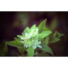 Don't tell me the sky is... (Cecilia Maldonado Gallego) Tags: flowers love theperksofbeingawallflower uploaded:by=flickstagram lasventajasdeserunmarginado instagram:photo=540626846171364894222491374