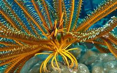 Crinoid Squat Lobster - Kimbe Bay - Papua New Guinea (Waterdragon62) Tags: papua kimbe walindi