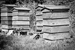 The Hive (David Allen's Photostream) Tags: blackandwhite bw bees bee hive