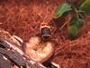 Flower Chafer (Ben Markham) Tags: flower beetle chafer flowerchafer benmarkham