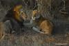 DSC_3409 (Arno Meintjes Wildlife) Tags: africa nature animal southafrica wildlife lion safari krugerpark pantheraleo arnomeintjes