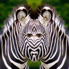 x y b r e q u i d (epiclectic) Tags: reflection animal photoshop mirror design graphic wildlife humor perspective manipulation images symmetry reflect symmetrical mutant twisted enhancement epiclecticcom epiflection epiflectionbyepiclecticcom