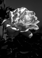 White Rose (http://fineartamerica.com/profiles/robert-bales.ht) Tags: arizona blackandwhite plants white plant flower love nature floral rose blackbackground spectacular photo blossom anniversary awesome fineart scenic rosa surreal peaceful brush valentine romance celebration passion sensational pedals bud thorns inspirational spiritual sublime rosepetals ornamental greetingcard magical isolated magnificent inspiring pedal perennial haybales prickles iphone rosaceae canonshooter rosephotography robertbales