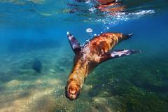 Swimming with Sea Lions @ the Galapagos (Vasilis Tsikkinis) Tags: underwater galapagos sealion rabida ewamarine canonef1635mmf28liiusm canoneos5dmarkiii