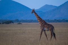 Blue Moon (Hector16) Tags: kenya wildlife hills 2014 giraffacamelopardalistippelskirchi chyuluhills chyulu oldonyolodge