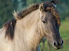 P8230121 (Dick DB) Tags: horses horse holland animal alice olympus wonderland denbosch omd paarden em1 konik koninkspaarden omdem1 diezemonde dickbesse