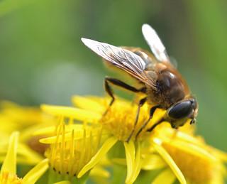 On Ragwort - Common Drone Fly - Eristalis tenax