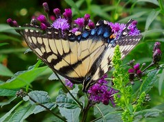 Farewell to the Tiger Swallowtail (bjebie) Tags: ohio flower nature butterfly insect upsidedown seasonal farewell nectar summertime pollen purpleflower swallowtail blooming 2014 ironweed tigerswallowtailbutterfly portagecountyohio