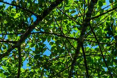 Fulles (faltimiras) Tags: park parque black peru rio river gris monkey mono martin eagle turtle negro selva cocodrilo national jungle lobo tortuga delfin parc nacional negre pescador amazonas papagayo reserva tucan riu aguila pacaya perou cocodrile dolfin fraile cocodril llop amazones frara perezoso marr papagall samiria dof