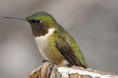 2014 Ruby-throated Hummingbird (Explore #34 9/15/14) (DrLensCap) Tags: bird robert wisconsin hummingbird wi kramer rubythroated sprague