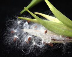 Asclepias curassavica seed pod (annabelleny Thank you for over 425,000 views) Tags: autumn flower fall butterfly pod seed asclepias