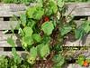 Compost bin (Sow and So) Tags: compost nasturtium tomatillos compostbin