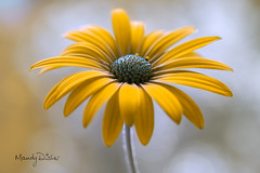Daisy (Mandy Disher) Tags: summer flower beauty garden fresh daisy macrophotography nayure capedaisy flowerphotography