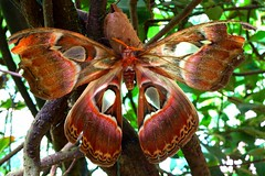 Attacus Atlas (Chris-17) Tags: papillon butterfly insect bug lepidoptera attacus atlas drosselklappe mariposa saturniidae farfalle
