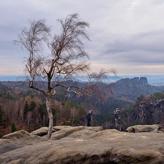EM570182_medium_2000 (ThomasKrannich) Tags: birch tree saxonswitzerland landscape view nobody olympus mzuiko 1240 f28
