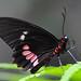 San Antonio - Parides Butterfly