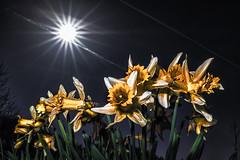 Springtime (trommler13) Tags: spring frühling narzissen blüte blühen artfotografie natur portylook fujifilm fuji xt1 xf165528 metz 45