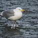 European herring gull 2017-02-25_01