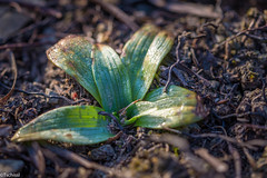 for true orchid lovers (Tschissl) Tags: orchid orchis österreich austria leopoldsberg pflanzen frühling location blumen orchideen wien flowers
