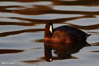 American Coot In Beautiful Light_20A7726