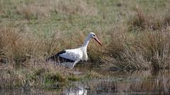 Weißstorch auf Futtersuche (Oerliuschi) Tags: weisstorch storch wiese wasser gras fressen natur adebar ciconiaciconia