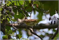Tuinfluiter (pietplaat) Tags: vogels tuinfluiter pietplaat