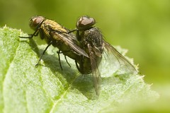 Flies mating (Gareth Christian) Tags: fly kent nikon 105mm kwt sigma105mmf28dgmacro kentwildlifetrust d7000 polhillbank