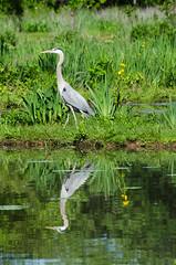 Walking stalker (Tim Brown's Pictures) Tags: reflection heron se washingtondc nps swamp wetlands marsh nationalparkservice greatblueheron kenilworthaquaticgardens timbrown