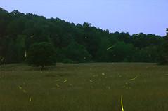 Fireflies3 (Christopher Wallace) Tags: fireflies insects landscape blacksburg virginia southwestvirginia va newrivervalley nrv night nightphotography trees sky tallgrass nikon nikond7000 d7000 digital dark 18200mm 18200mmvr 18200 timelapse longexposure stars field farm woods bugs forest lightningbug lightningbugs outdoor serene