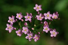 Feliz Quinta Flower (STE) Tags: pink flowers photography photo foto photographer photos bokeh rosa fotografia fiori stefano fotografo trucco centaurium erythraea tamron90 fiorellini zush stefanotrucco