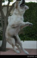 A great athlete (Ubierno) Tags: dog chien co goldenretriever puppy golden alma hond retriever perro hund cachorro kutya madra  kpek      ubierno