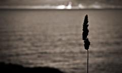 Sea corn