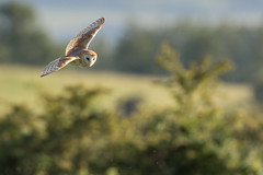 Barn Owl (Explored #97 14/06/14 ) (John Ambler) Tags: barn john hunting feather explore claw owl prey 97 ambler explored