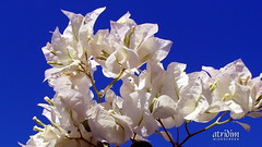 Arizona White Bougainvillea Brilliance (atridim) Tags: photo flickr widescreen 169 whitebougainvillea captainrick 16x9widescreen virtualjourney atridim