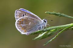 Polyommatus dorylas (PITUSA 2) Tags: lepidoptera galicia mariposa pitusa lugo animalia arthropoda bolboreta insecta lycaenidae ocourel polyommatus polyommatini dorylas plebicula elsabusto