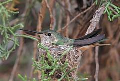 Broad-tailed Hummingbird (Selasphorus platycercus) (Ron Wolf) Tags: bird nature utah nationalpark hummingbird wildlife capitolreefnationalpark trochilidae apodiformes broadtailedhummingbird selasphorusplatycercus