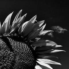 sunflower -explore- (archifra -francesco de vincenzi-) Tags: bw italy square italia flor sunflower minimalism 花 minimalismo girasole girasol 向日葵 carré molise isernia ヒマワリ minimalisme цветок minimalart الشمس infiorescenza turnesol عباد подсолнечник archifraisernia francescodevincenzi