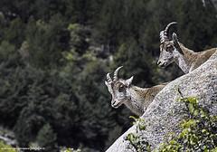 Fauna pedricera (luisrguez) Tags: madrid espaa spain w es pedriza