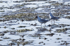 gently stepping (Wendy:) Tags: morning sea sand gulls july lowtide sandymount