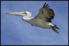 Clontarf Pelican Fly past-1= (Sheba_Also 11.5 Millon Views) Tags: fly pelican past clontarf